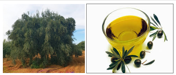 شجرة الزيتونة